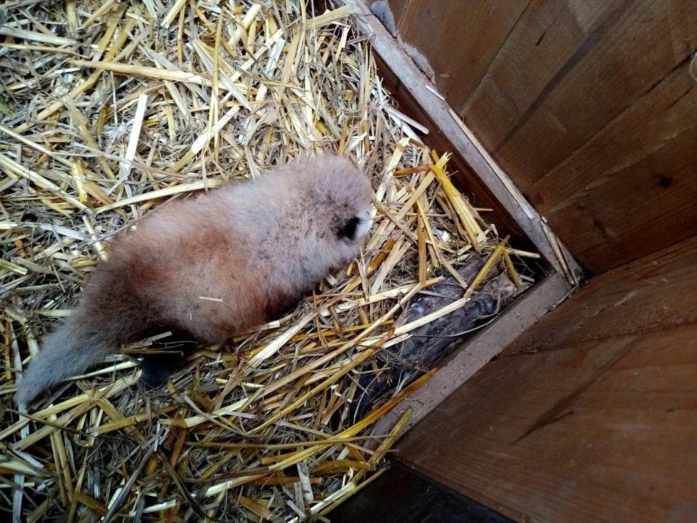 Dvouměsíční mládě pandy.