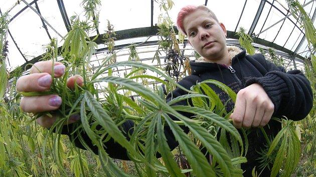 """Zatímco okolo chemického svinstva nazývaného syntetické kanabinoidy je v Ostravě po sérii otrav a dvou úmrtích dost rušno, za humny se v klidu chystá sklizeň legální """"trávy"""" na ploše 300 metrů čtverečních."""