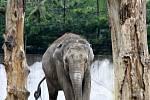"""Slonice Vishesh v ostravské zoologické zahradě je přesně v polovině březosti. Do samotného porodu jí zbývá ještě dlouhých jedenáct měsíců sloní """"těhotenství"""" totiž trvá až dva roky."""