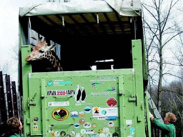 Žirafa v transportním přívěsu.