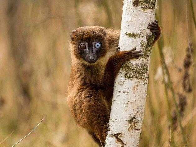 Tento lemur červenobřichý je v ostravské zoo rarita svým zbarevním kukadel. Dodnes má jedno oko hnědé a druhé modré.