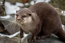 Zoo Ostrava je nadále dle nařízení vlády uzavřená, 6. února 2021 v Ostravě. Vydra malá.
