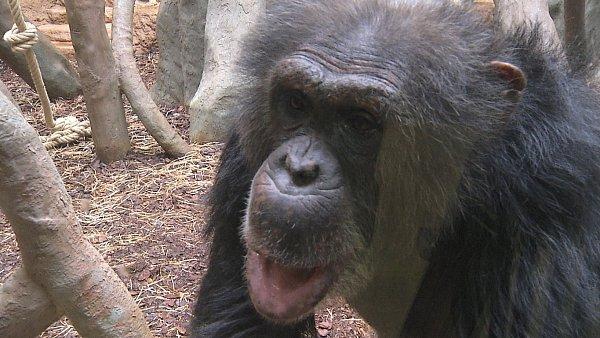 Dvacetiletý šimpanz Vincent zfrancouzské zoo.