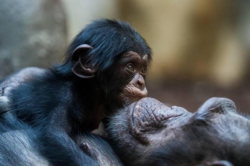 Mládě šimpanze v ostravské zoo.
