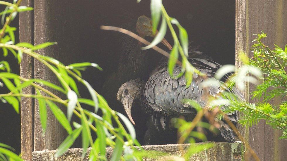 Ibis skalní v Zoo Ostrava