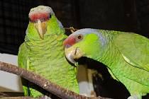 Vzácný papoušek z Mexika - Amazoňan fialovotemenný.