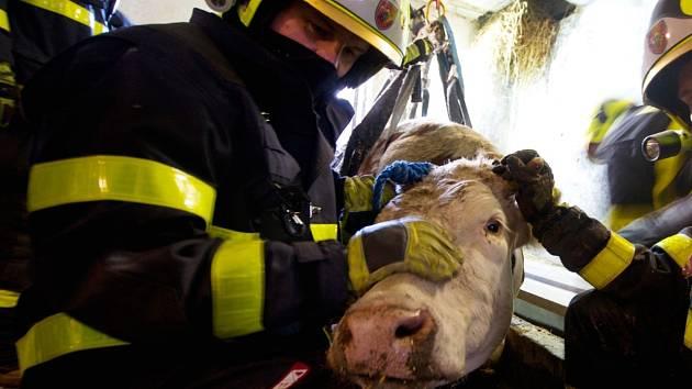 Záchrana krávy.
