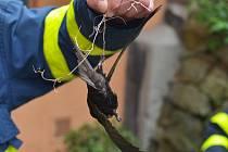 Rorýse, který se drápky zachytil mezi střešní desky, zachránili tento týden ostravští hasiči.