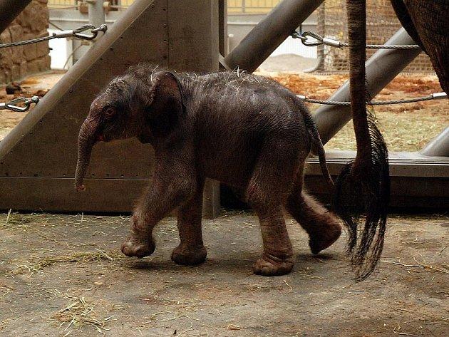 Mládě čtrnáctileté slonice Vishesh z ostravské zoo.