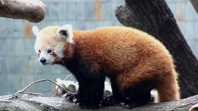 Novým (doposud nikdy nechovaným) druhem ostravské zoo je panda červená.