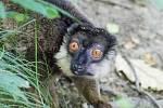 Lemur šedohlavý
