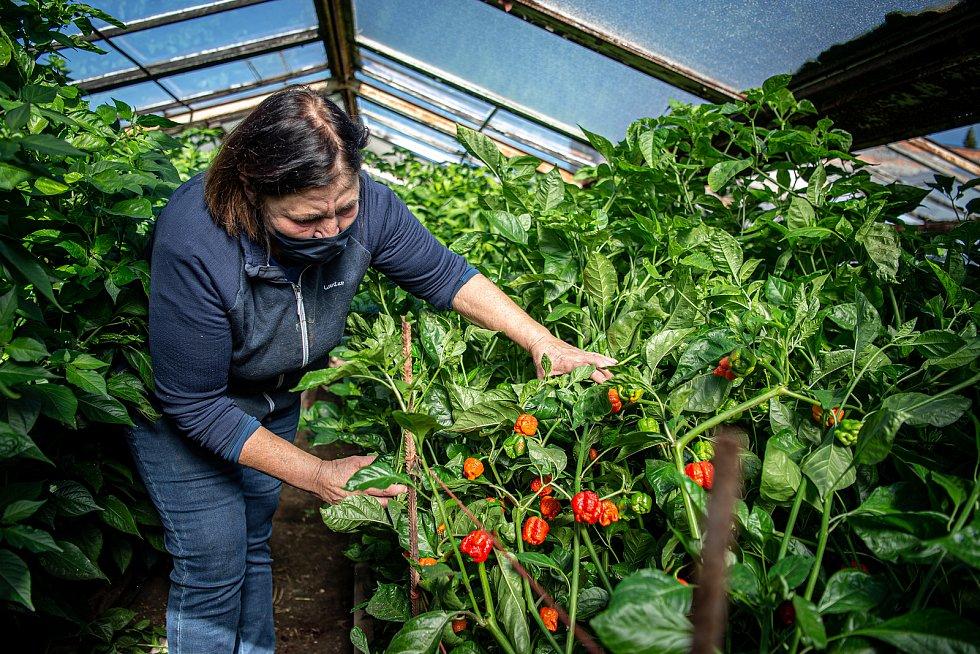 V Zahradnictví Poruba pěstují chilli pro výrobce omáček Gaston Chilli, 6. října 2020 v Ostravě. Majitelka zahradnictví Františka Bestová sbírá papričky.