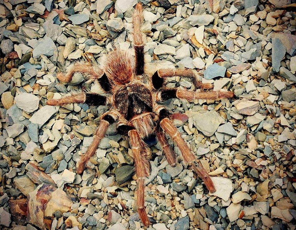SPOLEČNOST ostravského dobrodruha v podobě tarantule.