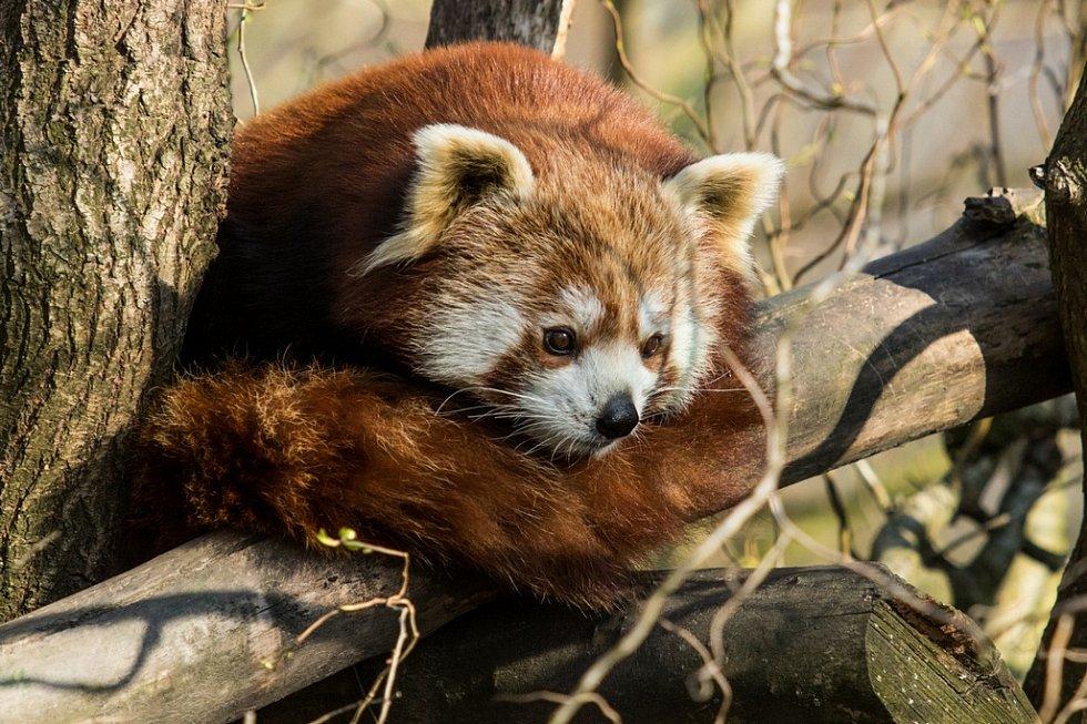 Panda červená v ostravské zoo.