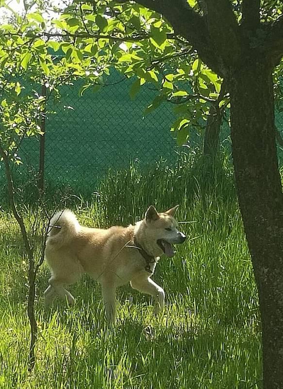Aki se radostně vyřádil v zahradním výběhu.