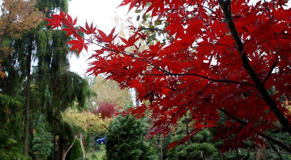 Jan Sláma pěstuje na své zahradě v Ostravě-Hrabové tisíce exotických dřevin. Například při pohledu na barevnou krásu japonských javorů dlaňolistých na chvíli zapomenete, že teplé dny pomalu odcházejí.