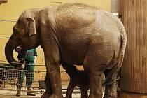 Slonímu mláděti se daří pít, i když samice ho občas odstrčí. Snímek z prvního jarního dne.