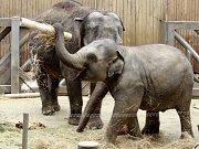 Sloní samička den po svém narození.