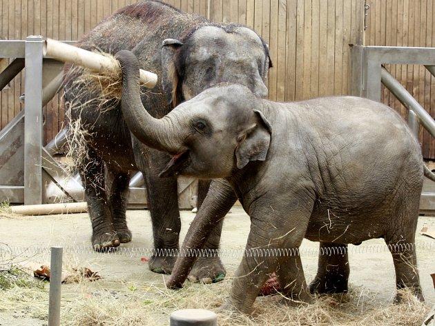 Sloní samičky Rashmi z ostravské zoo oslavila 5. narozeniny.