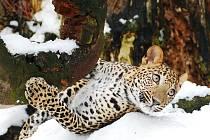 Levhart na sněhu.