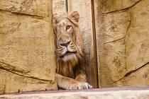 Mladý samec lva na snímku od Moniky.