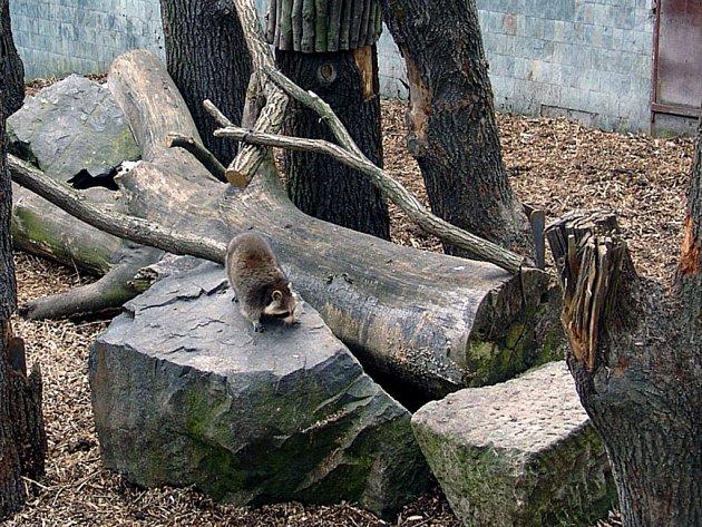 Mýval v novém výběhu Zoo v Ostravě