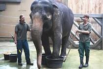Bratři Dan (vlevo) a Pavel Zvolánkovi při ošetřování a cvičení s jedenačtyřicetiletou samicí Johti. I ona má ještě hypotetickou šanci v ostravské zoo zabřeznout.