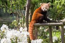 Panda červená s kvetoucími rododendrony