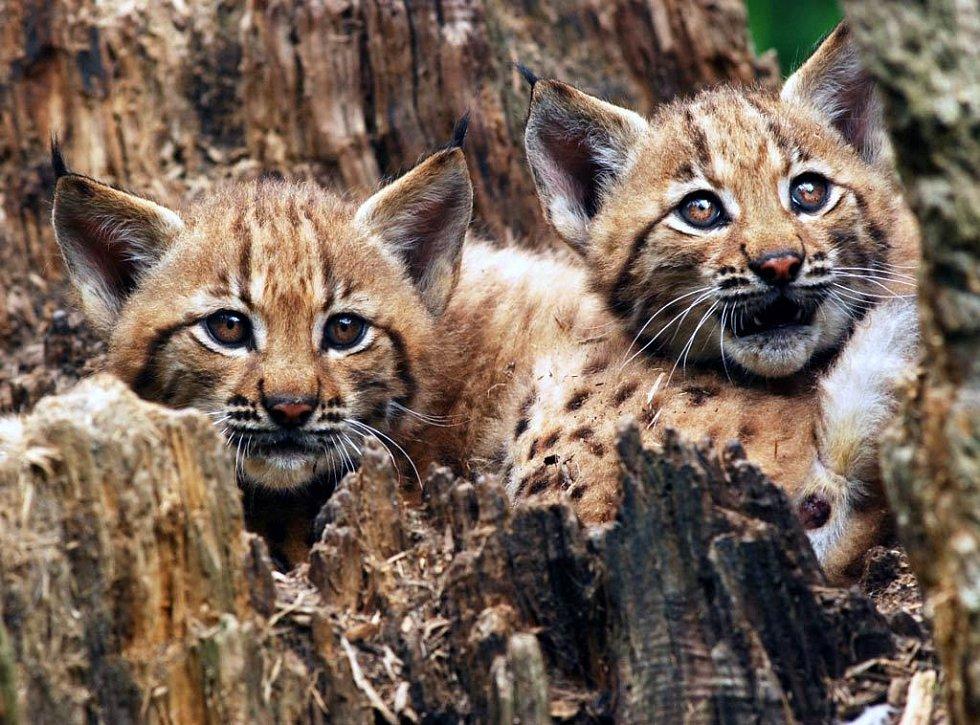 Mláďata rysa v ostravské zoo
