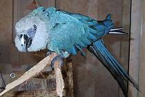 Nejvzácnější papoušek světa - ara Spixův neboli ara škraboškový (Cynopsitta spixii). Ilustrační foto
