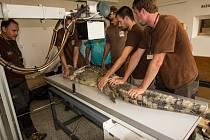 Vyšetření krokodýla štítnatého.