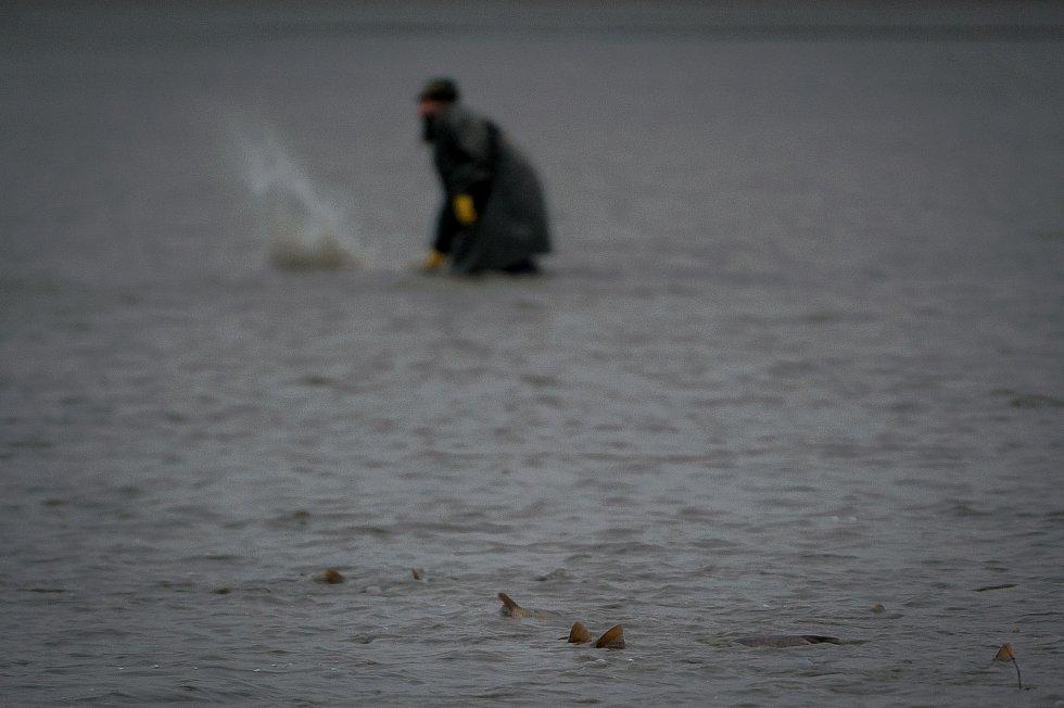 Výlov největšího rybníku v Moravskoslezském kraji Bezruč. Snímek z 10. listopadu 2017.
