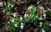 Výrazné oteplení se začíná projevovat i v zahrádkách a na loukách. Sněženky, které bývají považovány za prvního posla jara, už rozkvetly.