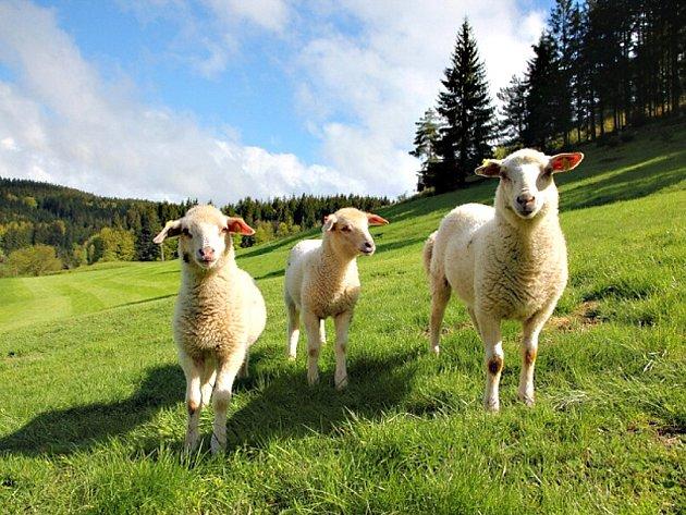 Ovečky u hotelu Horal. Naučná stezka, která ukazuje dětem zajímavosti přírody Chráněné krajinné oblasti Beskydy, byla otevřena v údolí Dynčák nedaleko hotelu Horal ve Velkých Karlovicích.
