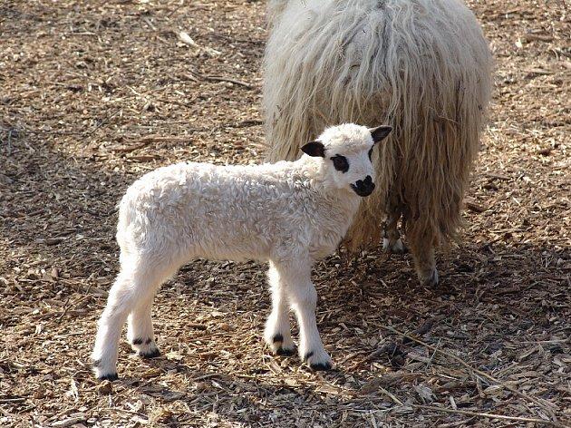 Novým přírůstkem dětské kontaktní zoo je mládě domácího plemene ovce - valašky.