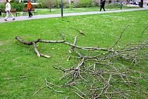 Ulomená větev v Husově sadu v centru Ostravy naštěstí nikoho nezranila