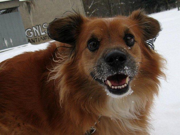 Jedním z psů z útulku při Nadaci na pomoc zvířatům v Ostravě-Porubě, kterého mohou zájemci přijít vyvenčit, je šestiletý kříženec Roky s přátelskou povahou a radostným pohledem.