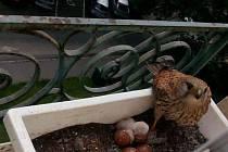 """""""BLAŽENA"""" hnízdí na parapetu ve 4. patře porubského sídliště."""