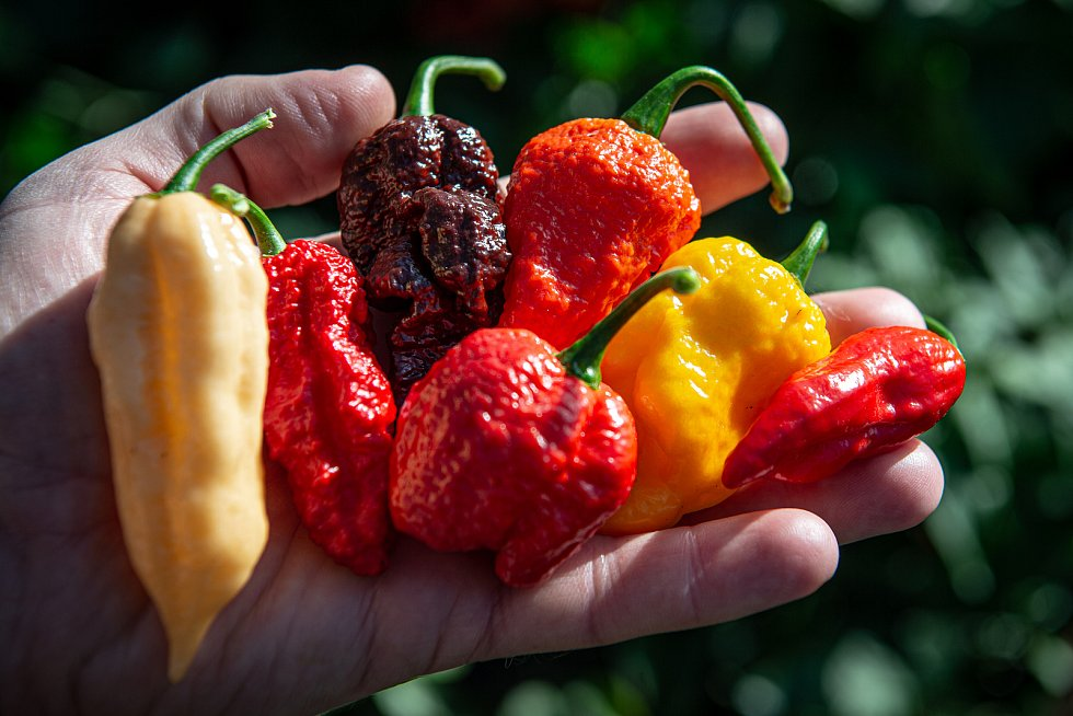 V Zahradnictví Poruba pěstují chilli pro výrobce omáček Gaston Chilli, 6. října 2020 v Ostravě.