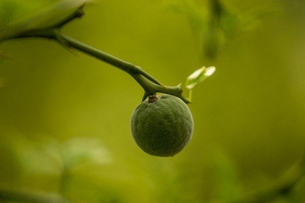 Vostravské zoo dozrávají plody citronečníku