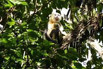 Languři indočínští pozorovaní v listopadu 2020.