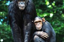 Opice slaví. Samice Hope s dcerou Bambari.