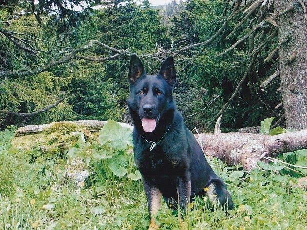 Služební pes ostravských policistů Tim.