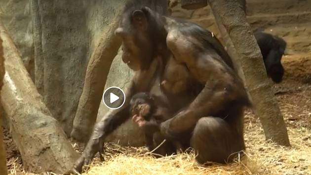 Záběr z videa zveřejněného Zoo Ostrava.