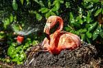 Mlžné sprchy, bahniště a stíny stromů. Takto se vyrovnávají s vedrem zvířata v ostravské zoologické zahradě, například plameňáci.