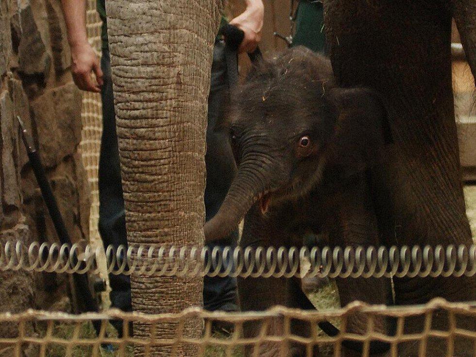 Nová sloní samička ostravské zoo. Mládě slonice Johti.