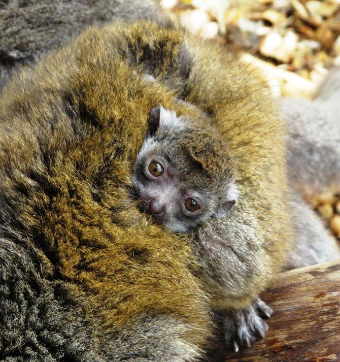 Měsíční mládě lemura mongoz, Zoo Ostrava. Ilustrační foto.