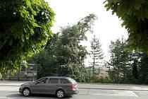 Lípa ve farní zahradě na Nábřeží SPB v Ostravě-Porubě.