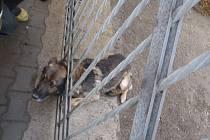 Mladíci, kteří vyprovokovali klacky německého ovčáka, mohou zřejmě za to, že skončil hlavou v bráně kovového plotu kolem areálu firmy v Ostravě-Vítkovicích v Tavičské ulici.