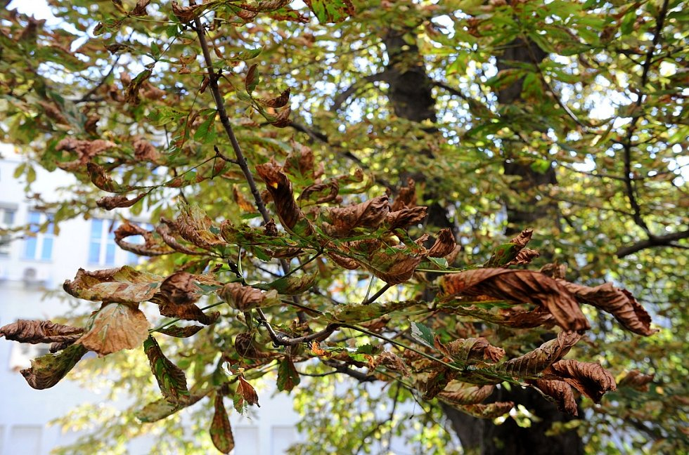 Pokud drobný motýlek zaútočí na vzrostlé kaštany v alejích, je obrana skoro nemožná.